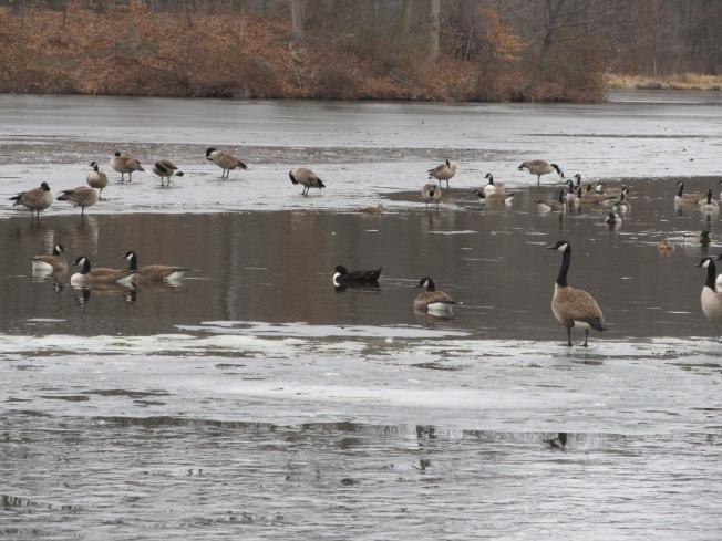 Lake Fowl